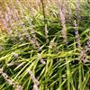 兰花三七、阔叶麦冬、宽叶麦冬、金边麦冬、金边阔叶麦冬