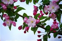 西府海棠 别名:海红、子母海棠、小果海棠