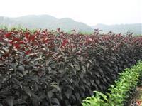 低价供应地径8-9公分的红叶李 紫叶李