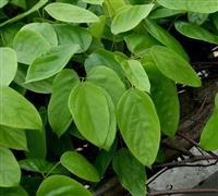 油麻藤 别称:牛马藤、常绿油麻藤、大血藤