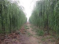 柳树、垂柳、金丝垂柳、青皮垂柳、黄皮垂柳、金皮垂柳、旱柳