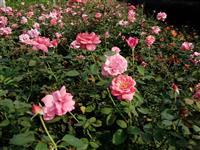 大花月季、钻石月季、树状月季、月季树、月月红、香水月季