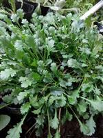 大滨菊、大滨菊盆栽、大滨菊种子
