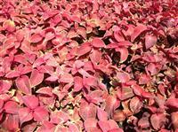 彩叶草 别名五彩苏、老来少、五色草、锦紫苏