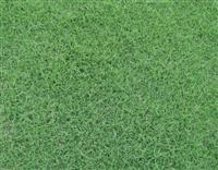 草坪:百慕大、矮生百慕大、百慕达、矮生百慕达