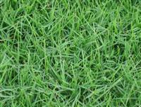马尼拉 别名:沟叶结缕草、半细叶结缕草、小芝型结缕草