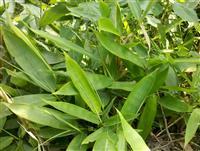 箬竹,别名米箬竹、篛叶、粽巴叶、若竹、箬叶竹、檐竹、矮箬竹