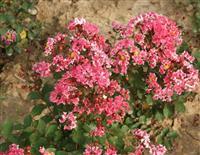 矮紫薇、百日红、满堂红、小痒痒树