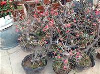 矮海棠,贴梗海棠,铁脚海棠、铁杆海棠、皱皮木瓜、木瓜海棠