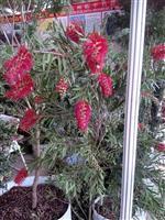 红千层 别名 瓶刷子树、红瓶刷、金宝树