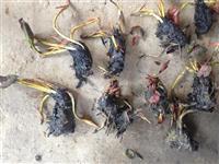 杭州萧山大量供应睡莲1000万棵,和黄花鸢尾800万芽,等等