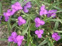 紫露草、金叶紫露草、白花紫露草、紫花紫露草