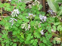 刻叶紫堇 别称:地锦苗、断肠草、羊不吃、紫花鱼灯草、烫伤草
