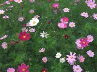 波斯菊,波斯菊种子 别称 秋英,张大人花,大波斯菊,秋樱