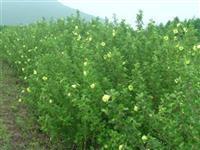 萧山海滨木槿P40-200,树形美,土球好