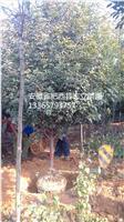 安徽红叶石楠球150-200大量出售肥西低价