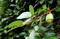 薜荔  别名:木莲、凉粉果、鬼馒头、凉粉子、木馒头