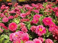 百日草 别名:百日菊、步步高、火球花、对叶菊 、秋罗、步登高