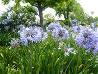 百子莲、紫君子兰、蓝花君子兰