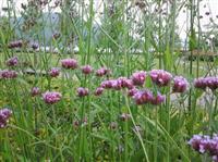 马鞭草、柳叶马鞭草、南美马鞭草、长茎马鞭草