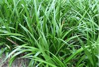 吉祥草、观音草、松寿兰、小叶万年青 竹根七、蛇尾七