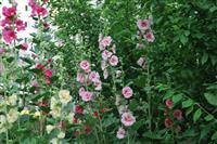 蜀葵 别名:一丈红、熟季花、戎葵、吴葵、炮仗花、胡葵、斗蓬花