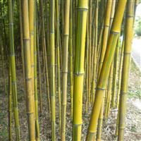 安吉基地供应金镶玉 另有罗汉竹 佛肚竹 花杆早竹等绿化竹苗