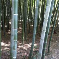 安吉供应3-5CM毛竹 淡竹 早园竹 高节竹等近百种绿化竹苗