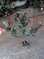 小叶红叶石楠、小叶红叶石楠球、小叶红叶石楠毛球