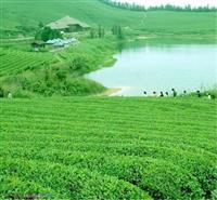凤凰茶茶:乌叶苗,白叶苗,八仙苗,水仙苗,宋种苗,东方红苗