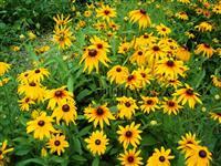黑心菊、地被菊、松果菊、金光菊、荷兰菊、金盏菊、蛇鞭菊