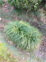 麦冬、麦冬草、银边麦冬、矮麦冬、日本矮麦冬、沿阶草、书带草