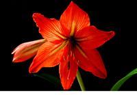 朱顶红 别名:柱顶红、孤梃花、华胄兰、百子莲、炮打四门