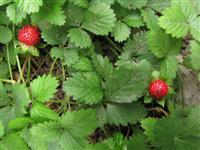 蛇莓、鸡冠果、野杨梅、蛇藨、地莓、蚕莓、蛇婆、三爪凤、龙吐珠