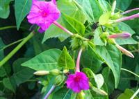 紫茉莉、紫茉莉种子 别名: 粉豆花、夜饭花、状元花、夜来香