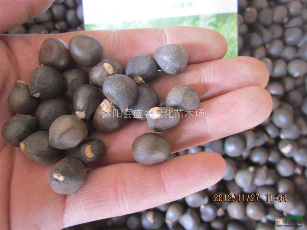 怎么看种子2014_2014*新价格 红花油茶种子