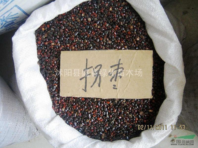 供应 拐枣种子 果树类种子 枳椇种子