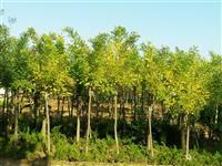 金叶复叶槭4一12公分