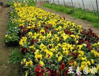 沭阳三色堇种子,三色堇种苗,别称: 三色堇菜、蝴蝶花