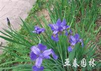 溪荪种子,溪荪,溪荪种苗,别名:东方鸢尾,溪荪基地
