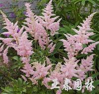 江苏落新妇种子,落新妇种苗,别 名:红升麻、虎麻、金猫儿