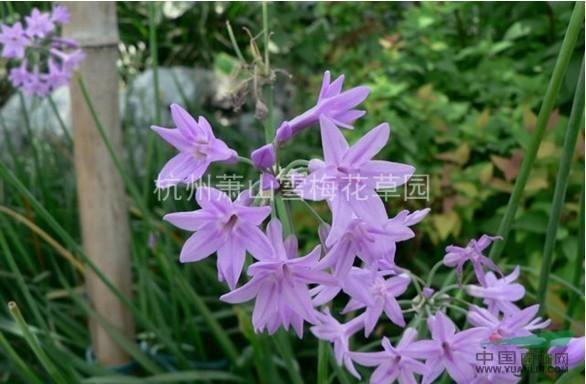 紫娇花、洋韭、洋韭菜、野蒜、非洲小百合