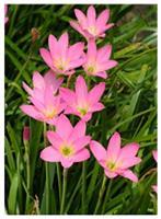 韭兰、韭莲、风雨花