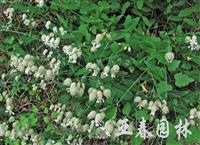 蝇子草种子,蝇子草种苗,别名:银柴胡、土桔梗