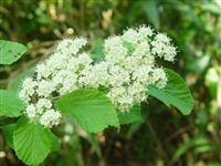供应出口景观林木种子,荚迷种子