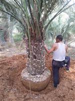 布迪椰子价格 布迪椰子行情 布迪椰子曾道人救世网 布迪椰子供应