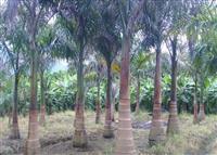 大王椰子价格 大王椰子行情 大王椰子报价 大王椰子