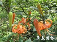 江苏卷丹种子,卷丹种苗,别称: 虎皮百合、倒垂莲、药百合