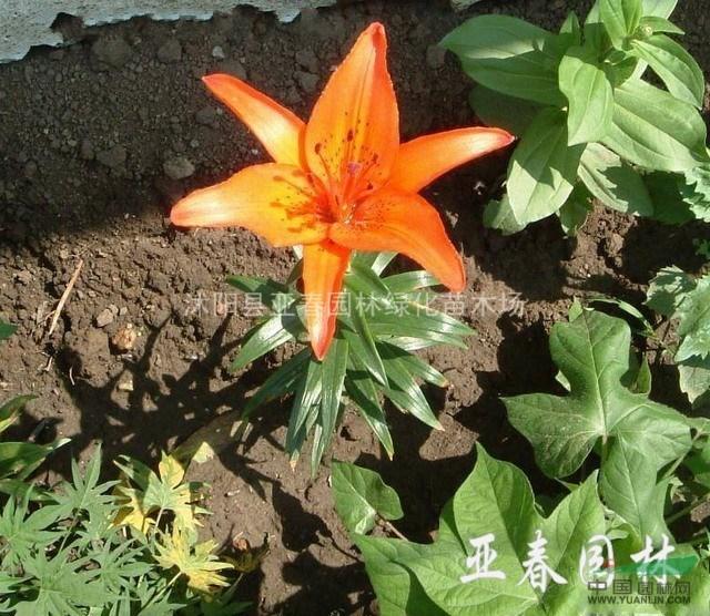 沭阳毛百合种子,毛百合苗,别名:卷帘百合,毛百合基地