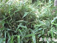 苏北唐竹,别称:四季竹,苦竹,疏节竹